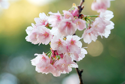 彼岸桜寄り