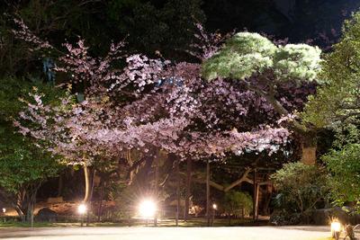 彼岸桜ライトアップ