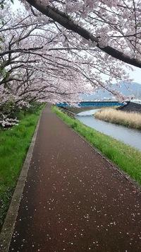 丸子川の桜