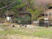 浜松城公園せせらぎの池の鴨たち