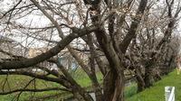 浜松市の芳川桜並木の開花