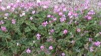 田んぼの隅に蓮華草(紫雲英)の花