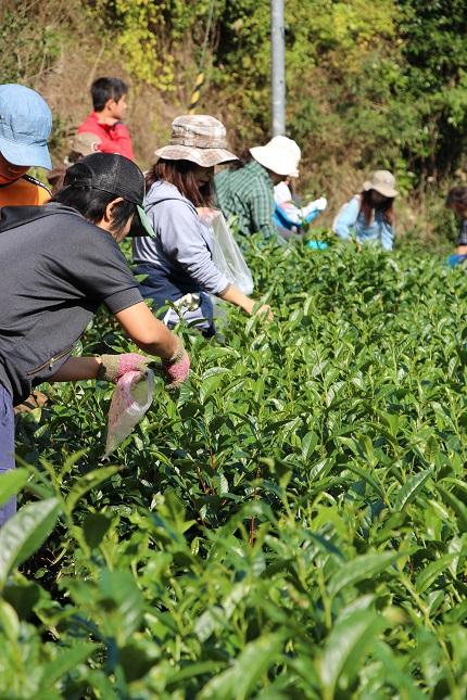 秋の茶摘み