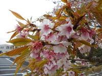 本日をもって今年の帯桜開花状況配信 停止です。