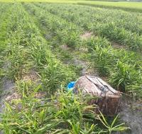 生姜畑が草畑